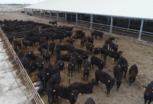 镇赉县十万头和牛特色扶贫养殖基地一角。