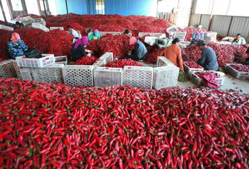 白城市通榆县天意农产品公司发展庭院经济,每户增收超过1000元。